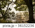 湖 琵琶湖 ハンノキの写真 36152236