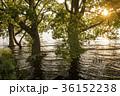 湖 琵琶湖 ハンノキの写真 36152238