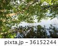 湖 琵琶湖 ハンノキの写真 36152244