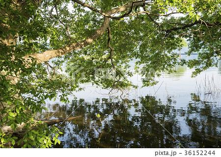 琵琶湖畔の水面とハンノキ 36152244