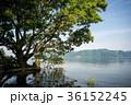 湖 琵琶湖 ハンノキの写真 36152245