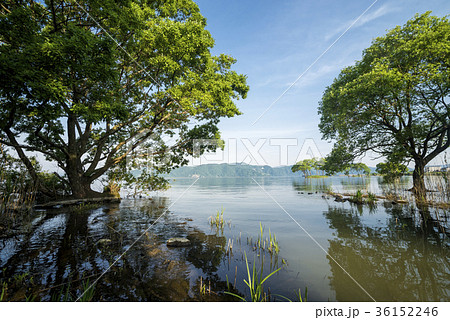 琵琶湖畔の水面と空の下のハンノキ 36152246