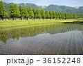 メタセコイヤ メタセコイヤ並木 田んぼの写真 36152248