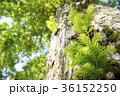 メタセコイヤ 葉 葉っぱの写真 36152250