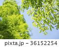 メタセコイヤ 葉 新緑の写真 36152254