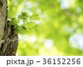 メタセコイヤ 葉 新緑の写真 36152256
