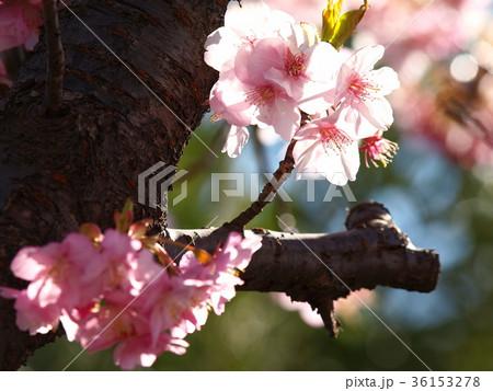 春の陽射しを浴びる河津桜 36153278