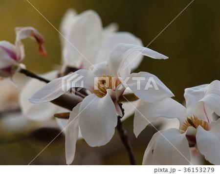 せせらぎの小径に咲いた白木蓮 36153279