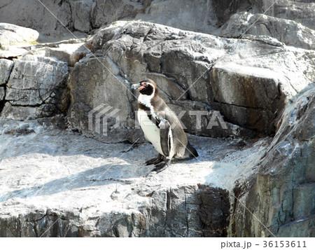 フンボルトペンギン 36153611