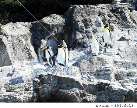 オウサマペンギンの群れ 36153612