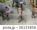 イノシシの親子 36153856