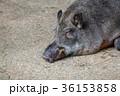 昼寝をするイノシシ 36153858