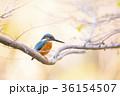 カワセミ 鳥 小鳥の写真 36154507