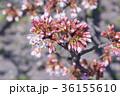 ピンク 背景素材 ソメイヨシノの写真 36155610