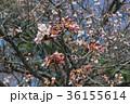 ピンク 背景素材 ソメイヨシノの写真 36155614