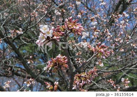 初春の桜、京都、日本 36155614