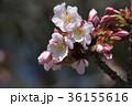 ピンク 背景素材 ソメイヨシノの写真 36155616