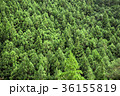 樹木 木々 杉の写真 36155819