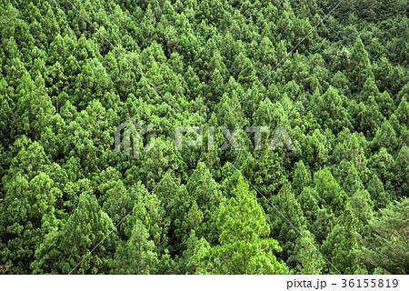 杉の木の山林 36155819