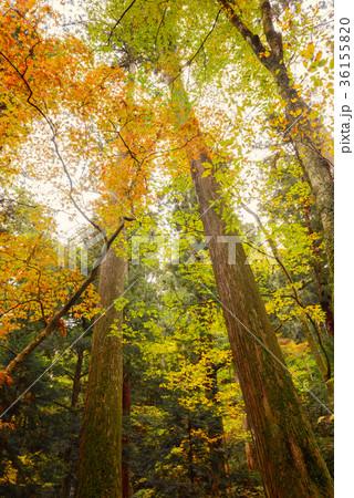 晩秋の森の木々 36155820