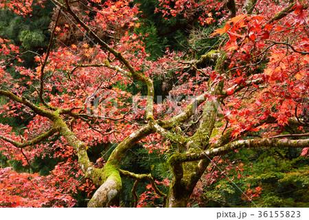 日本庭園の楓 36155823