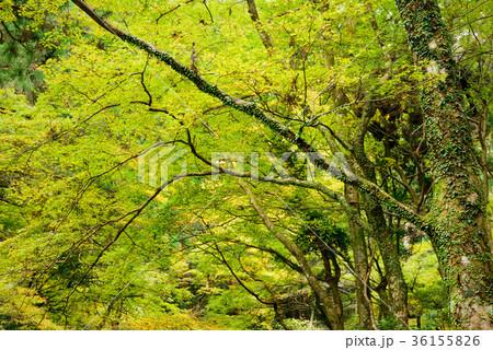 深い森の木々 36155826