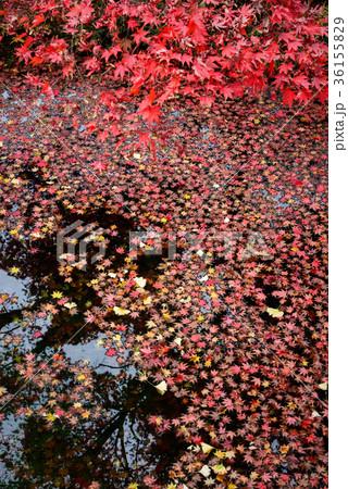 池に浮かぶ楓の葉 36155829