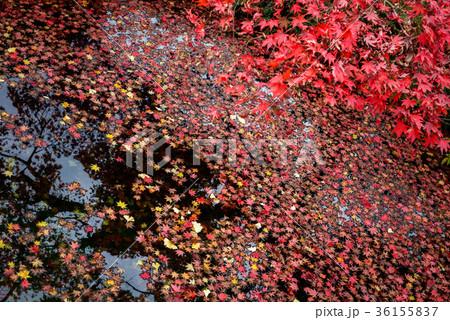 池に浮かぶ楓の葉 36155837