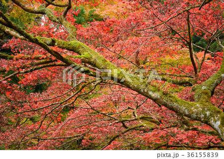 日本庭園の楓 36155839