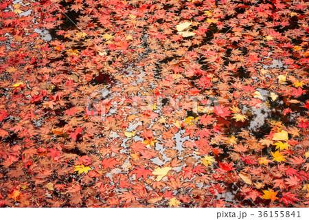 池に浮かぶ楓の葉 36155841