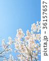 満開の桜 36157657