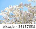 満開の桜 36157658