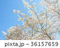 満開の桜 36157659