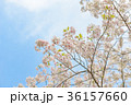 満開の桜 36157660