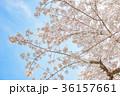 満開の桜 36157661
