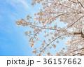 満開の桜 36157662