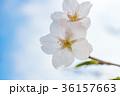 満開の桜 36157663