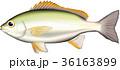 イサキ イサギ 魚のイラスト 36163899