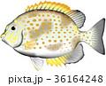 カーエー ゴマアイゴ 魚のイラスト 36164248