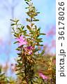 満開 花 ツツジの写真 36178026