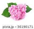 花 お花 フラワーの写真 36190171