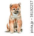 犬 子犬 柴犬のイラスト 36192257