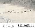 丹頂 早朝 冬の写真 36196311