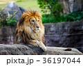 ライオン ネコ科 百獣の王の写真 36197044