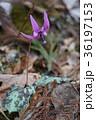 山野草 カタクリ 花の写真 36197153
