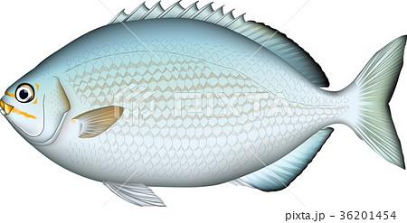 魚 イスズミ イラスト (ベクター)  36201454