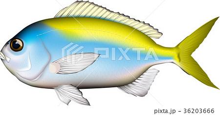 魚 ウメイロ ベクターイラスト 36203666