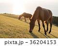 馬 夕方 都井岬の写真 36204153