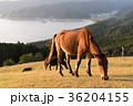 馬 夕方 都井岬の写真 36204155