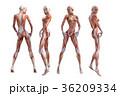 筋肉 解剖 女性のイラスト 36209334